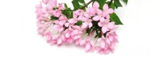 Bouvardia Blumenstrauß