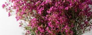 Waxflower – Wohlduftendes Beiwerk für Ihren Blumenstrauß