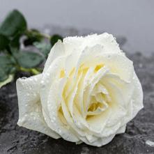 weiße Rose zum versenden