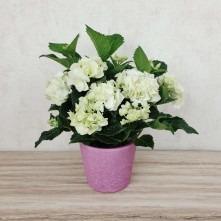 Hydrangea weiß