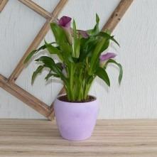 calla Zimmerpflanze violett
