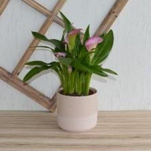 Calla Pflanze rosa