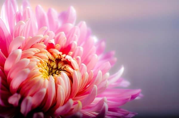 Bedeutung der Chrysantheme