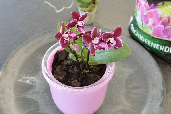 orchideen umtopfen blumenversand edelwei. Black Bedroom Furniture Sets. Home Design Ideas