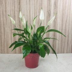 Einblatt - Spathiphyllum