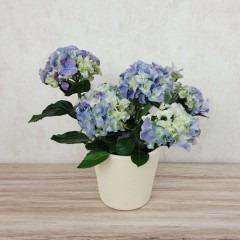 Hydrangea blau