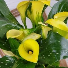 Gelbe Callablüten