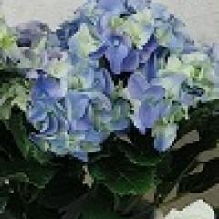 Blüte einer blauen Hortensie