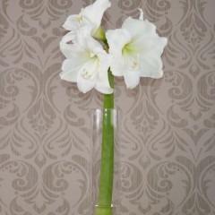 Weiße Amaryllis ohne grün