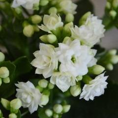 weiße Kalanchoeblüte