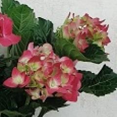 Hydrangea Blüte pink