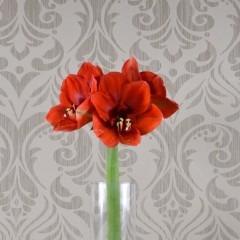 Rote Amaryllis ohne grün