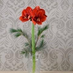 Rote Amaryllis mit grün