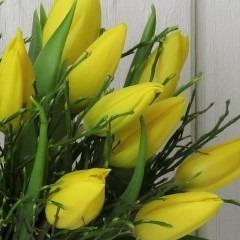 gelbe Blüten Tulpe