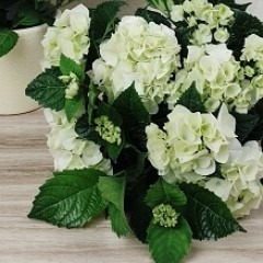 Hydrangea üppige Blüte weiß