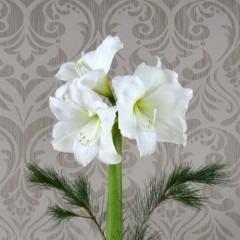 weiße Amaryllis mit grün